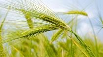 Пшеница и её свойства